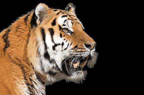 Tigre de la India