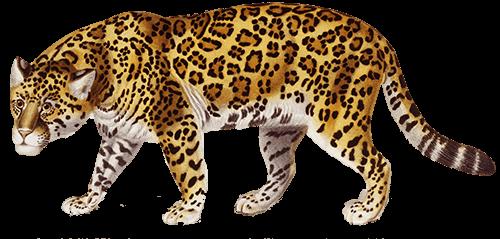 Jaguar camina
