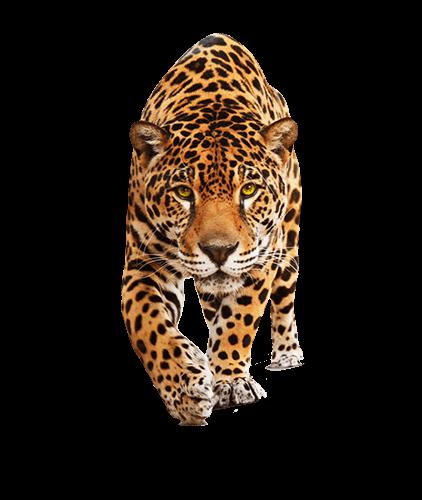 Jaguar camina de frente a su presa