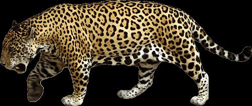 Jaguar camina lentamente