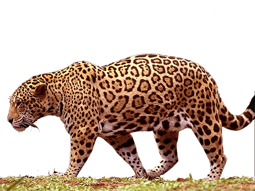 Jaguar caminando