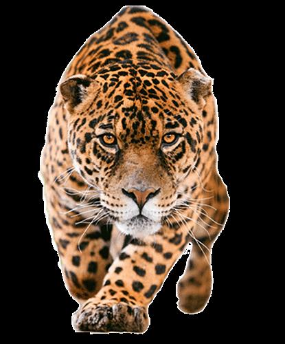 Jaguar de frente