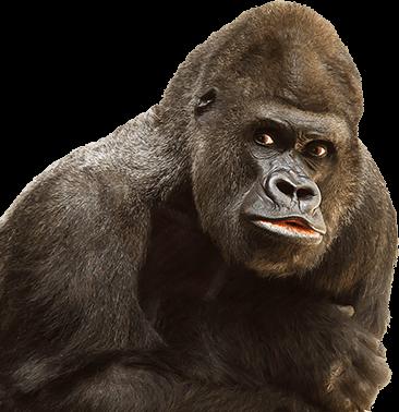 Gorila con los brazos cruzados