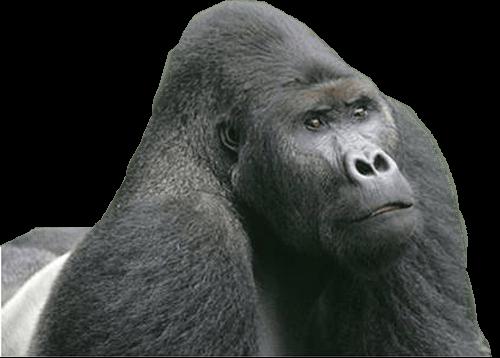 Gorila viendo hacia arriba