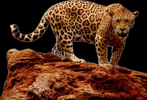 Jaguar peligroso