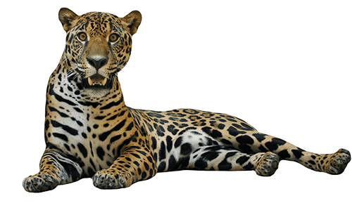 Jaguar sentado