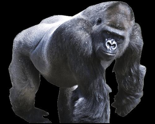 Gorila enojado
