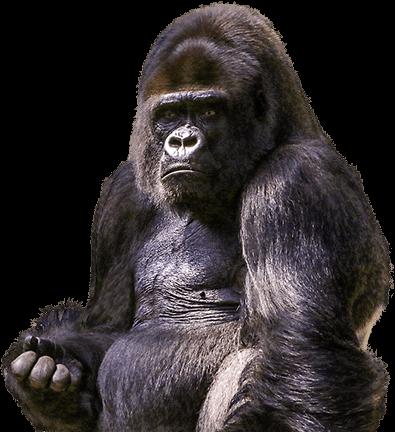Gorila se rasca