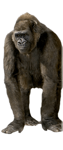 Gorila viendo hacia adelante