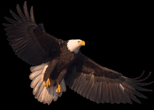 Águila Eagle ascendiendo vuelo