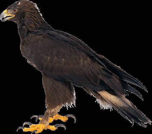 Águila Eagle color marrón parada