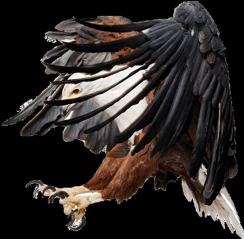 Águila Eagle con alas abiertas