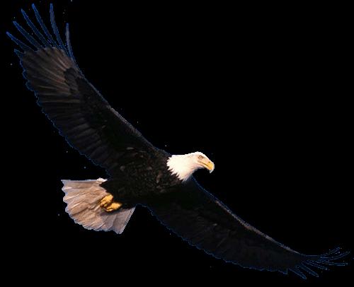 Águila Eagle volando y observando