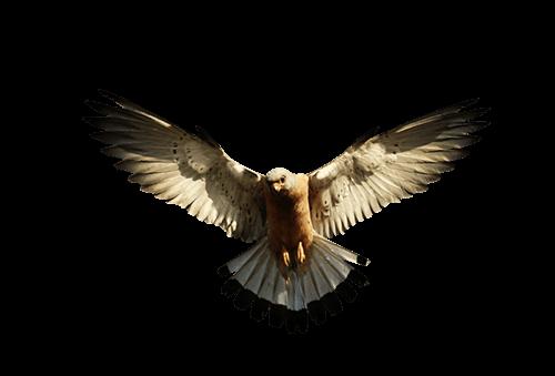 Águila Eagle vuela bajo el sol