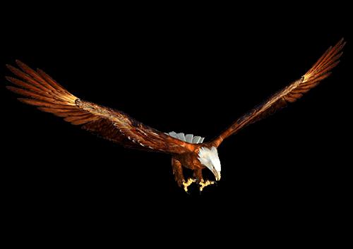 Águila Eagle vuela con alasa abiertas