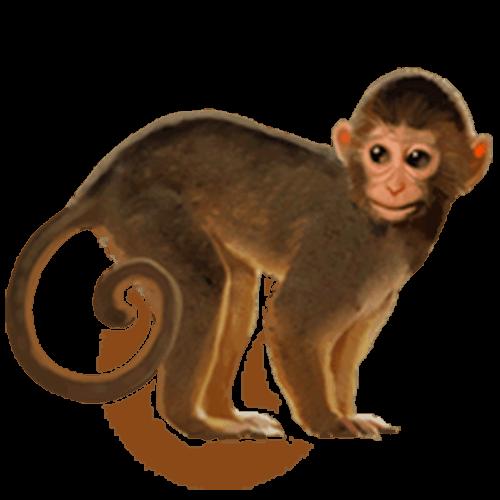 Mono con la cola enrrollada
