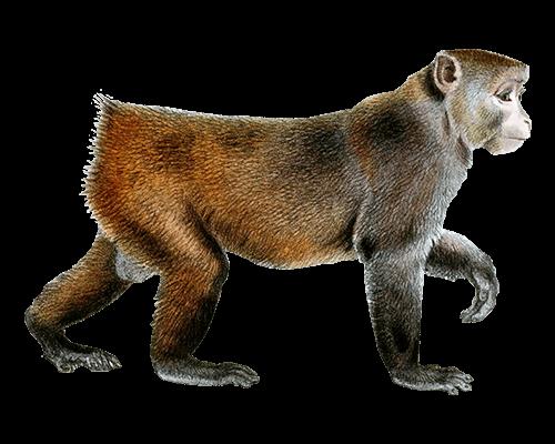 Mono sin cola