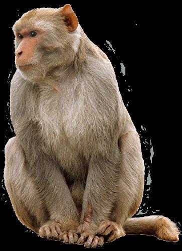 Mono viendo hacia al lado